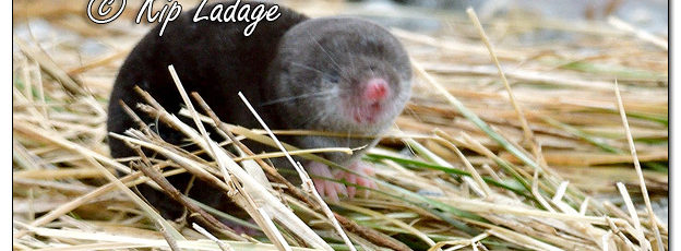 Displaced Shrew Near Flood Water - Image 549442 (© Kip Ladage)
