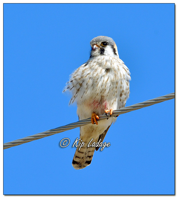 Female American Kestrel on Power Line - Image 553148 (© Kip Ladage)