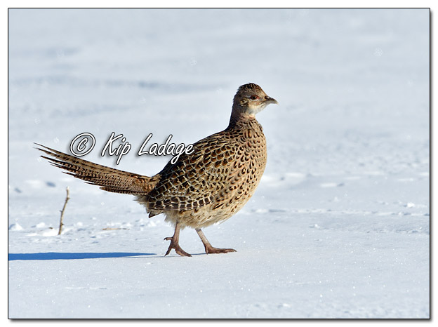 Hen Ring-necked Pheasant in Snow - Image 548377 (© Kip Ladage)