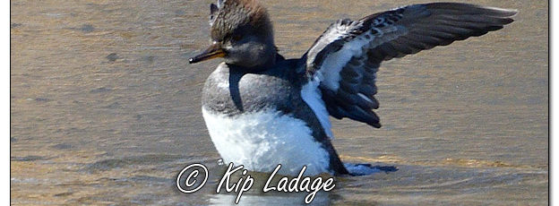 Female Hooded Merganser - Image 550436 (© Kip Ladage)