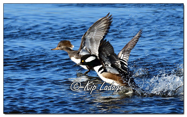 Hooded Merganser at Sweet Marsh - Image 551050 (© Kip Ladage)