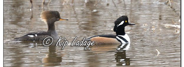 Female and Male Hooded Merganser in Flood Water - Image 549324 (© Kip Ladage)