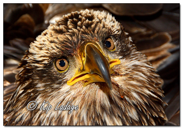 Injured Juvenile Bald Eagle - Image 548108 (© Kip Ladage)