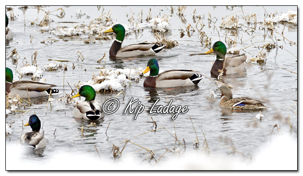Mallards in WInter - Image 548469 (© Kip Ladage)