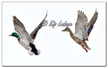 Mallards in WInter in Flight - Image 548474 (© Kip Ladage)