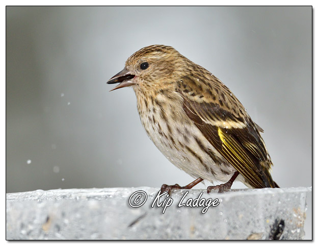 Pine Siskin at Feeder in Rain - Image 548712 (© Kip Ladage)
