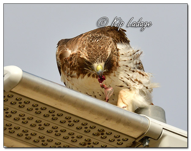 Red-tailed Hawk Eating Rodent on Light - Image 5535586 (© Kip Ladage)