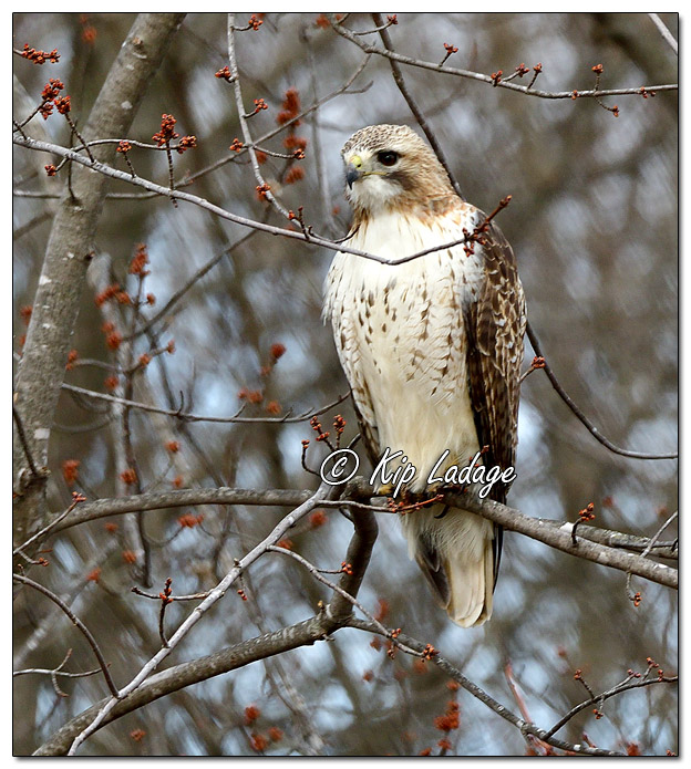 Red-tailed Hawk in Maple Tree - Image 554283 (© Kip Ladage)