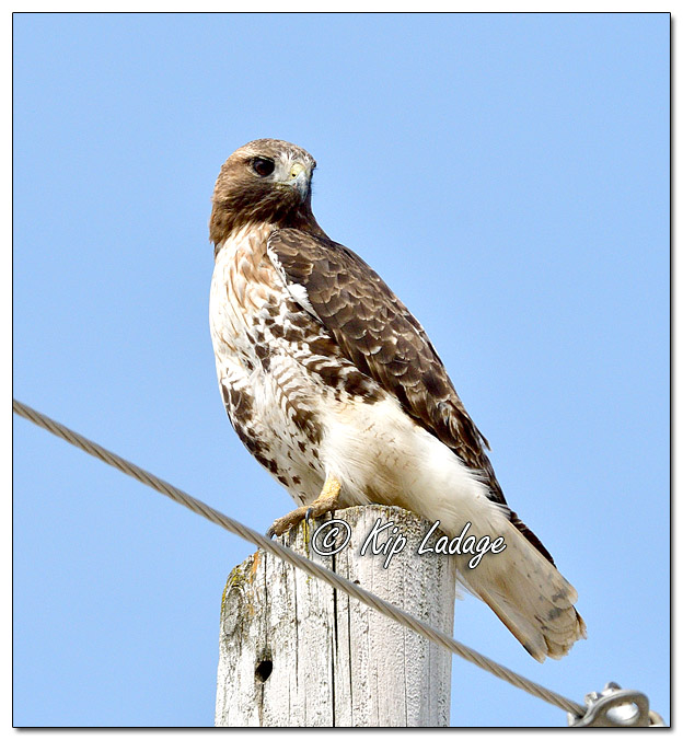 Red-tailed Hawk on Power Pole - Image 550775 (© Kip Ladage)