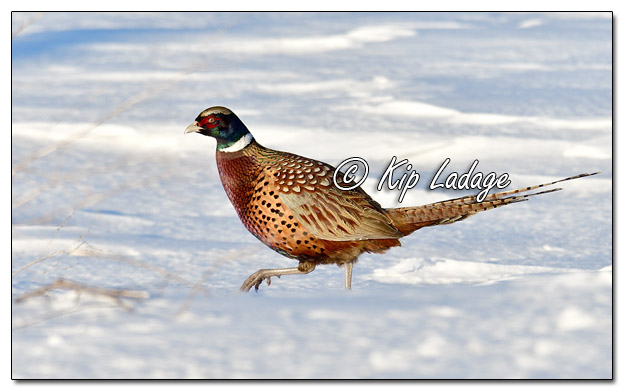Rooster Ring-necked Pheasant in Snow - Image 548357 (© Kip Ladage)