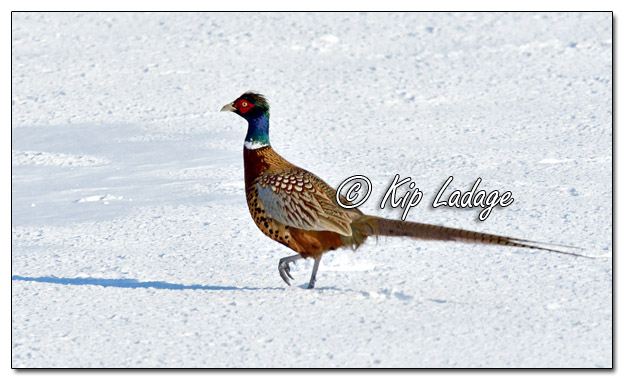 Rooster Ring-necked Pheasant in Snow - Image 549142 (© Kip Ladage)
