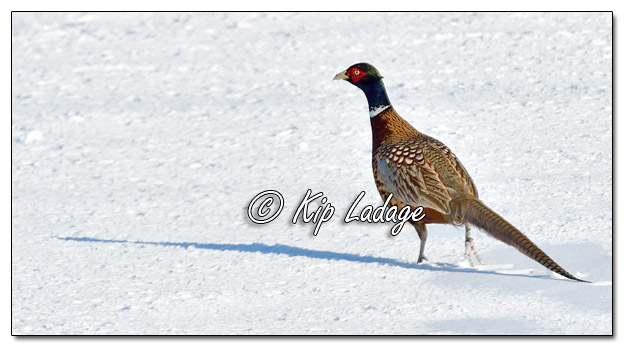 Rooster Ring-necked Pheasant in Snow - Image 549153 (© Kip Ladage)