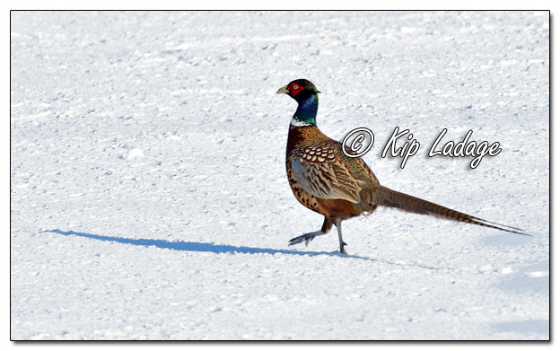 Rooster Ring-necked Pheasant in Snow - Image 549155 (© Kip Ladage)