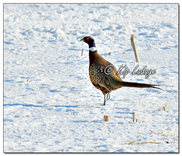Rooster Ring-necked Pheasant in Snow - Image 549165 (© Kip Ladage)