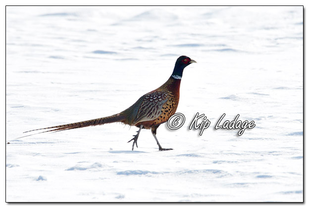 Rooster Ring-necked Pheasant in Snowy Field - Image 548582 (© Kip Ladage)