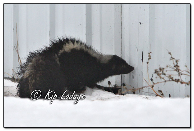Striped Skunk in Fog - Image 549221 (© Kip Ladage)