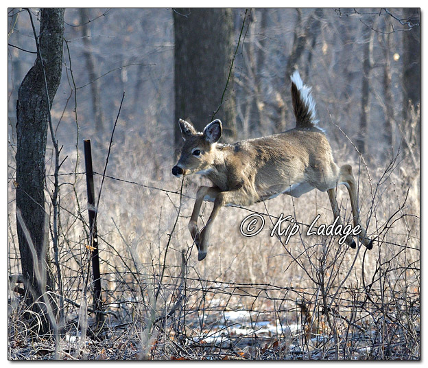 Whitetail Deer Jumping Fence - Image 550640 (© Kip Ladage)