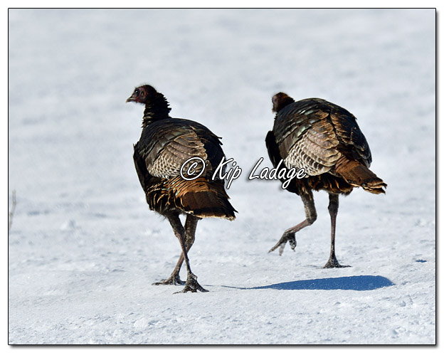 Young Wild Turkeys in Snow - Image 548818 (© Kip Ladage)