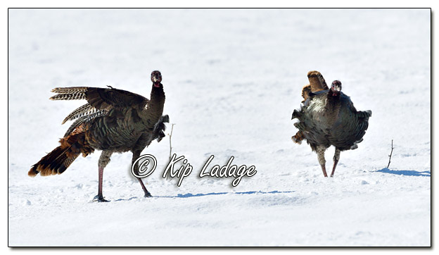 Young Wild Turkeys in Snow - Image 548839 (© Kip Ladage)