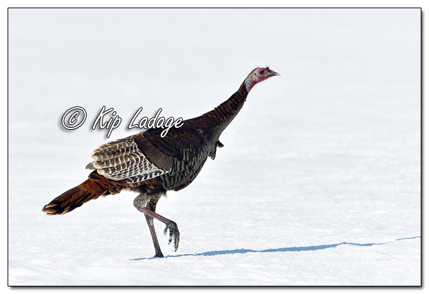 Young Wild Turkey in Snow - Image 548880 (© Kip Ladage)