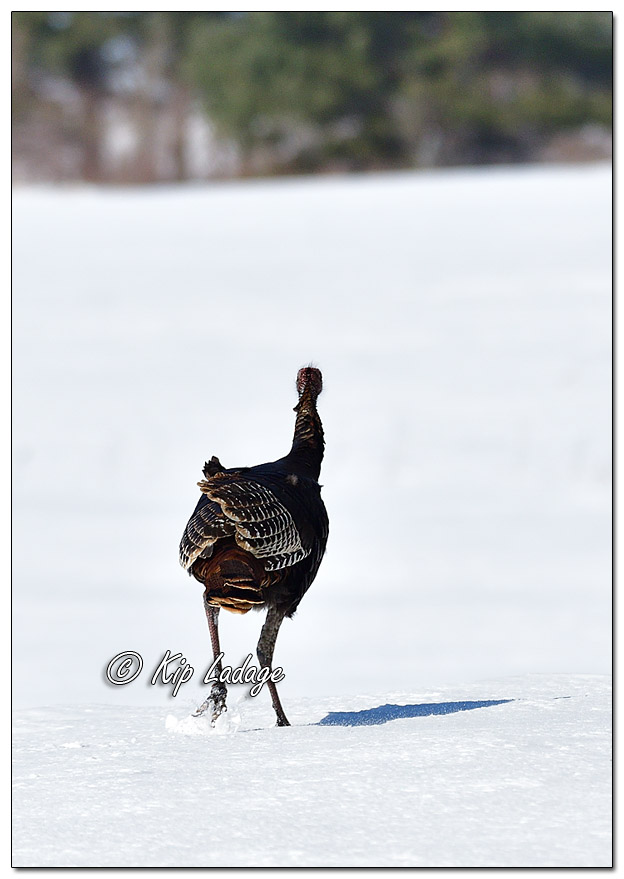 Young Wild Turkey in Snow - Image 548912 (© Kip Ladage)