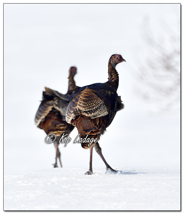 Young Wild Turkeys in Snow - Image 548919 (© Kip Ladage)