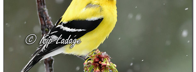 American Goldfinch in Snow - Image 560777 (© Kip Ladage)