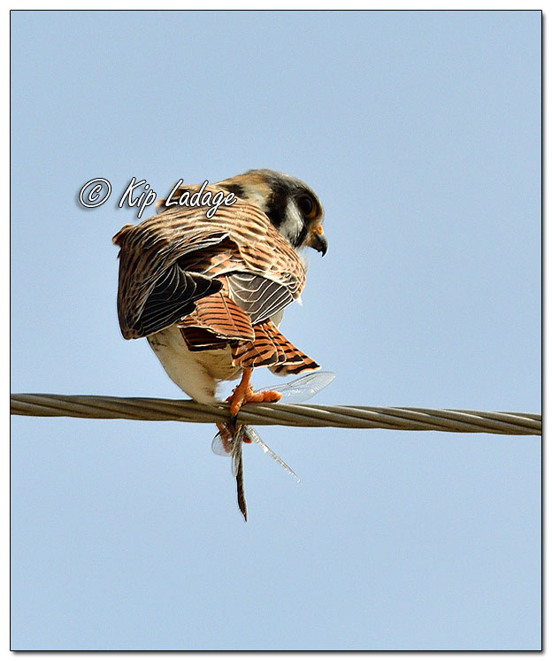 American Kestrel with Dragonfly - Image 557505 (© Kip Ladage)