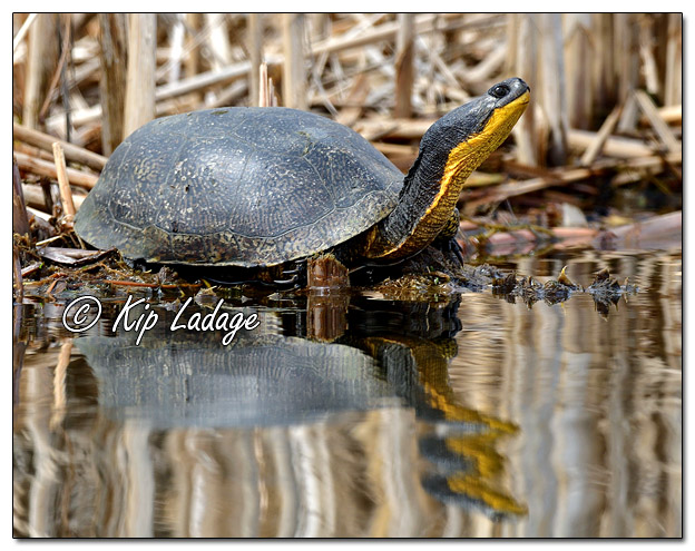 Blanding's Turtle at Sweet Marsh - Image 555709 (© Kip Ladage)