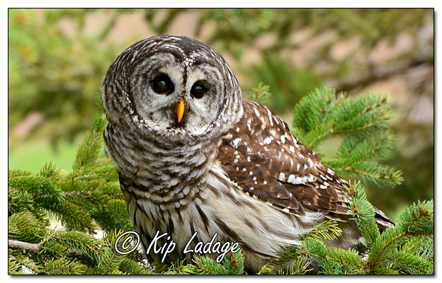 Captive Barred Owl in Conifer at Fontana Park - Image 556338 (© Kip Ladage)