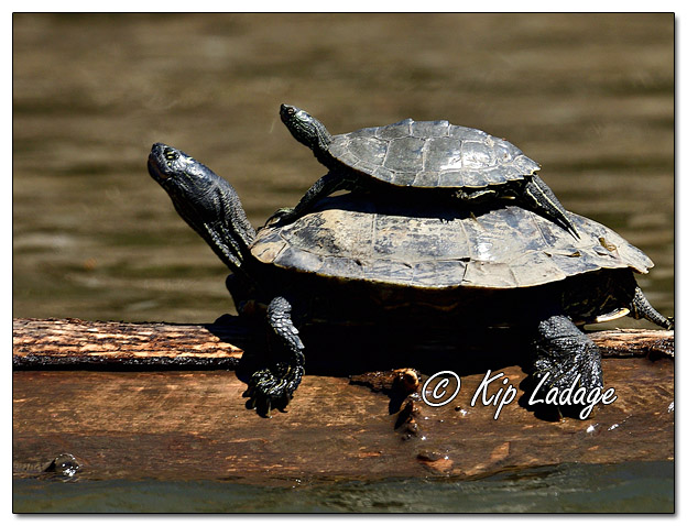 False Map Turtles on the Cedar River - Image 557957 (© Kip Ladage)