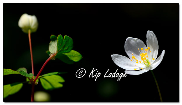 False Rue Anemone at Ingawanis Woodlands - Image 560525 (© Kip Ladage)
