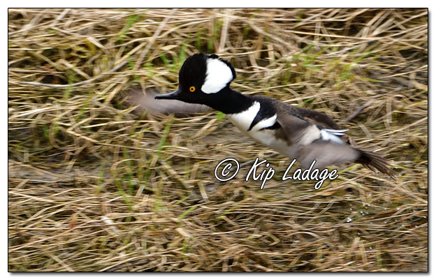 Male Hooded Merganser in Flight - Image 556081 (© Kip Ladage)