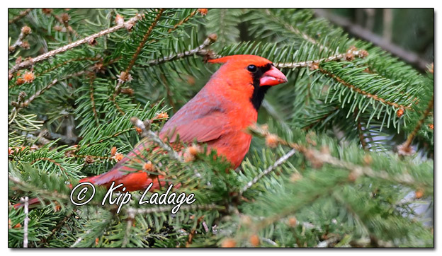 Male Northern Cardinal in Conifer - Image 556200 (© Kip Ladage)