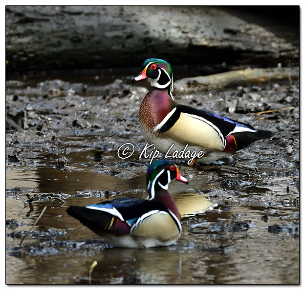 Male Wood Ducks in Timber - Image 5547248 (© Kip Ladage)
