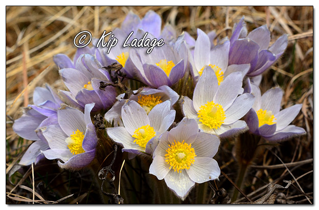 Pasqueflowers at Blackmon Prairie - Image 556791 (© Kip Ladage)