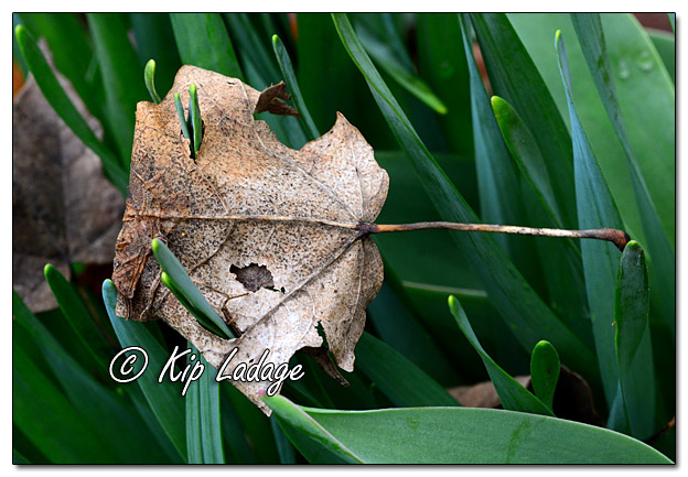 Plant Growth Through Autumn Leaf - Image 556065 (© Kip Ladage)