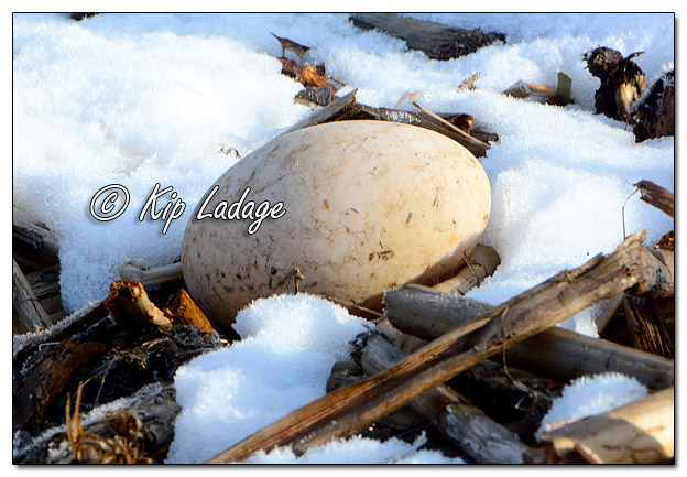 Waterfowl Egg Outside of Nest - Image 560947 (© Kip Ladage)