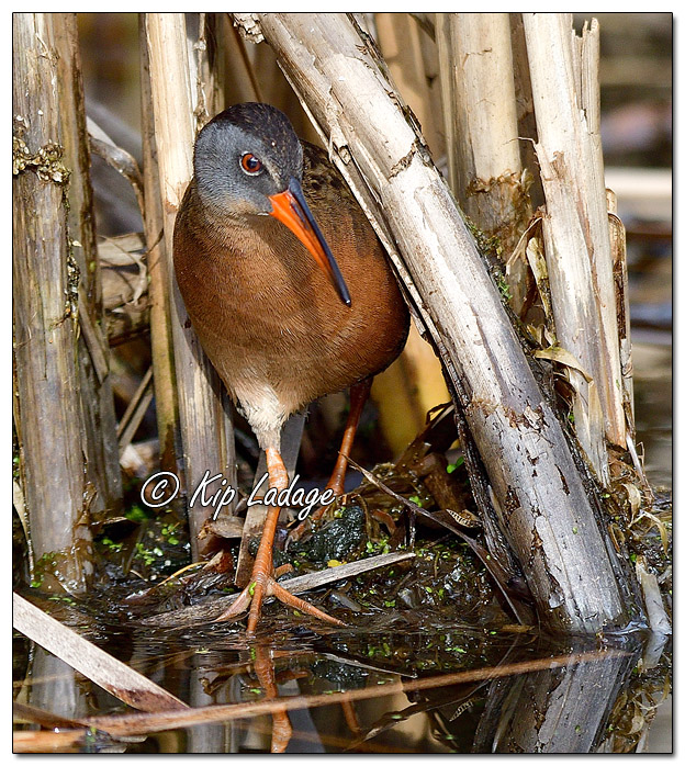 Virginia Rail in Cattails at Sweet Marsh - Image 558259 (© Kip Ladage)