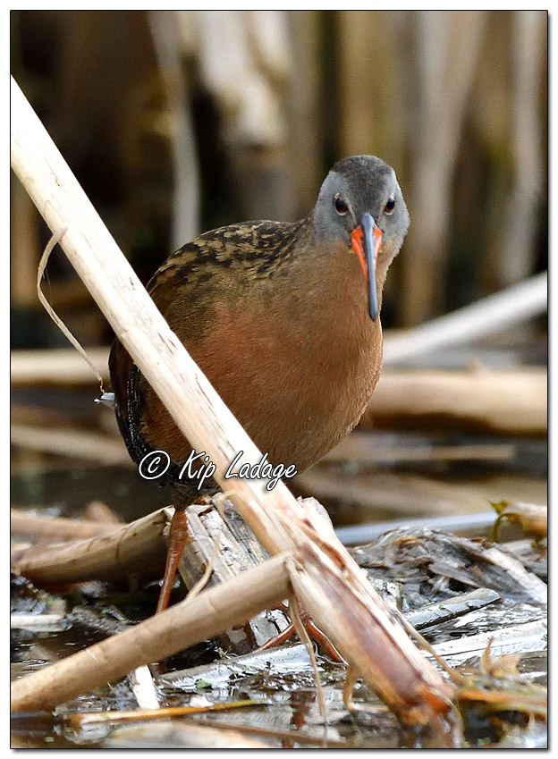 Virginia Rail in Cattails at Sweet Marsh - Image 558426 (© Kip Ladage)