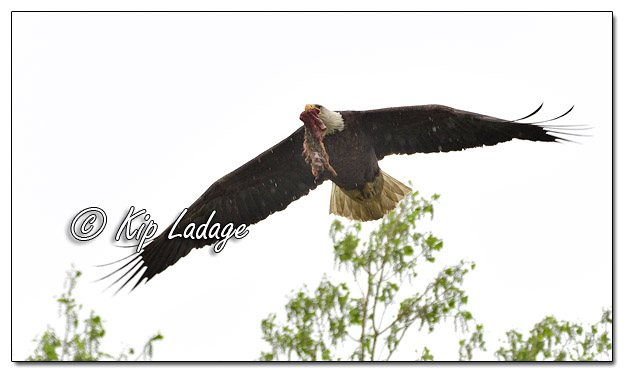 Adult Bald Eagle With Squirrel - Image 568054 (© Kip Ladage)