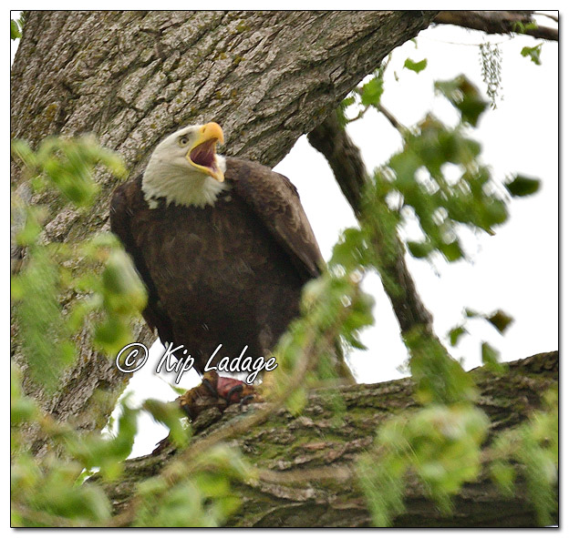 Adult Bald Eagle With Squirrel - Image 568076 (© Kip Ladage)
