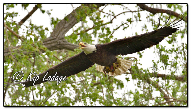 Adult Bald Eagle With Squirrel - Image 568095 (© Kip Ladage)