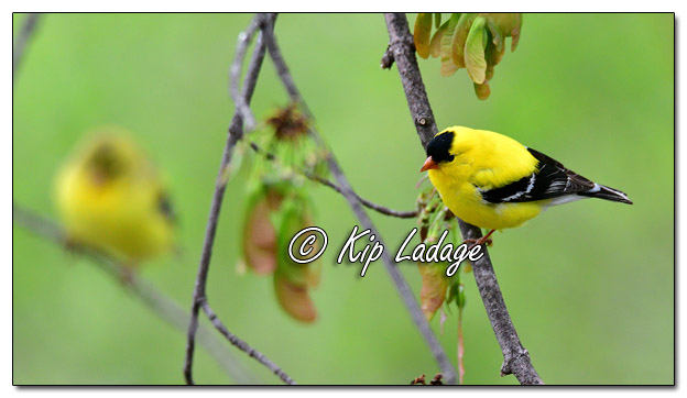 American Goldfinch in Tree - Image 564271 (© Kip Ladage)