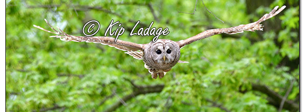 Barred Owl in Flight - Image 568357 (© Kip Ladage)