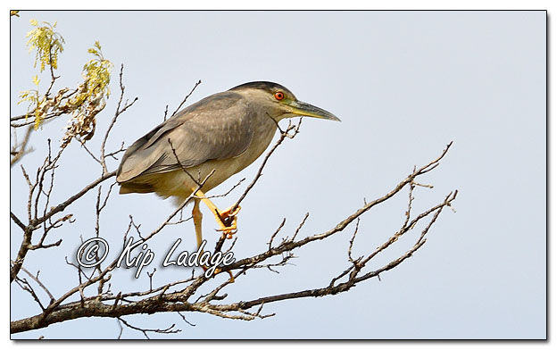 Black-crowned Night Heron at Sweet Marsh - Image 564489 (© Kip Ladage)