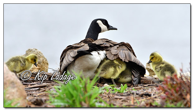 Canada Goose with Goslings Under Wing - Image 561477 (© Kip Ladage)