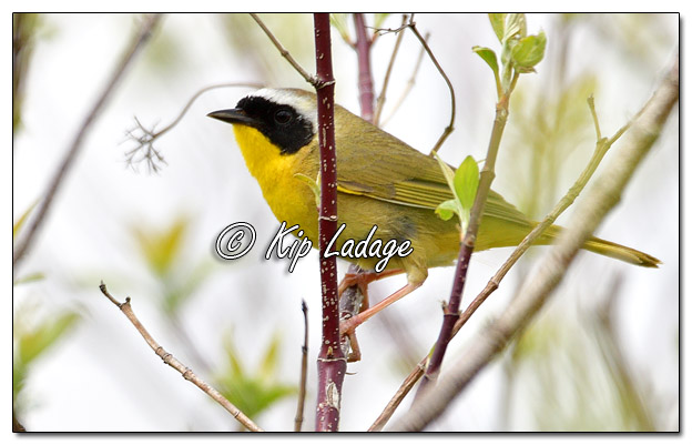 Common Yellowthroat at Sweet Marsh - Image 564407 (© Kip Ladage)