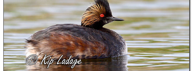 Eared Grebe at Sweet Marsh - Image 564728 (© Kip Ladage)