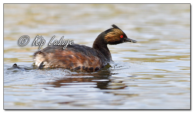 Eared Grebe at Sweet Marsh - Image 564747 (© Kip Ladage)
